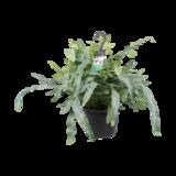 Decorum Phlebodium aureum 'Blue Star' (Decorum Phlebodium aureum 'Blue Star')_