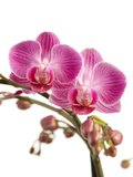 Phalaenopsis multiflora (Phalaenopsis multiflora Purple)_
