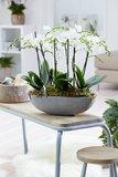 Phalaenopsis multiflora (Phalaenopsis multiflora white)_