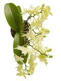 Phalaenopsis multiflora (Phalaenopsis multiflora yellow)_