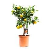 Citrus Clementine (Clementine)_