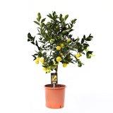 Citrus Pursha (PurschaP22)_