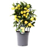 Citrus Limequat op rek (Lim P15)_