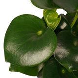 Decorum Peperomia Raindrop Feel Green - Elho b.for antracite (640255)_