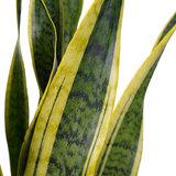 Decorum Sansevieria Laurentii - Elho brussels soap (220954)_