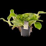Decorum Philodendron Scandens (Decorum Philodendron Scandens)_