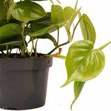 Decorum Duo Philodendron Scandens met potten Anna White ()_