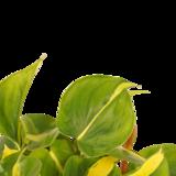 Decorum Philodendron Brazil (Decorum Philodendron Brazil)_