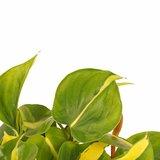Decorum Duo Philodendron Brazil met potten Anna Taupe ()_