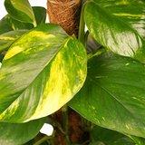 Decorum Scindapsus Mosstok 80 cm met Elho brussels antracite ()_
