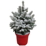 Picea Sneeuw  (PisneeuwP23)_