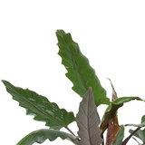 Decorum Alocasia Lauterbachiana met Elho brussels antracite  (dpallaut19)_