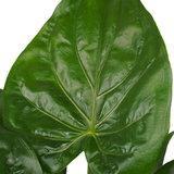 Decorum Alocasia Cucullata - Elho brussels black  (DPCuculla)_