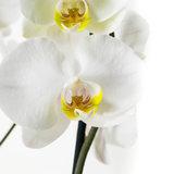 Phalaenopsis Springtime (PHSU02G02A)_