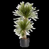Dracaena Marginata in ® ELHO b.for soft sierpot (Dracaena Marginata)_