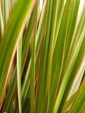 Dracaena Bicolour (Dracaena marginata Bicolour)_