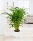 Goudspalm (Dypsis lutescens)_