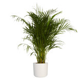 Goudpalm in ® ELHO b.for soft sierpot (Dypsis Lutescens)_