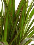 Dracaena Marginata (Dracaena marginata)_