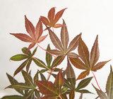 Acer 'Atropurpureum' in antraciet bloempot voor buiten (ELHO ®) (SKACER19ATROB)_