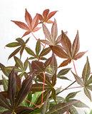 Acer 'Atropurpureum' in witte bloempot voor buiten (ELHO ®) (SKACER19ATROB)_