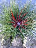 Fascicularia 'Bicolor' (SKFASC13BICOB)_
