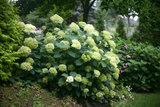 Hydrangea 'Lime Rickey' ® (SKHYDR19LIRIB)_