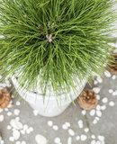 Pinus 'Summer Breeze' ® (SKPINU24SUBRS)_