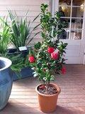 Camellia 'Black Lace' (SKCAME15BLLAP)_
