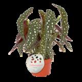Duo Begonia Maculata (MAC12S)_