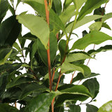 Thee plant (Camellia Sinensis)_