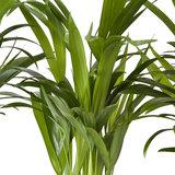 Goudpalm (Areca / Dypsis Palm) (PNLDYP17)_