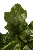 Philodendron Atom (PNLATO12-2)_
