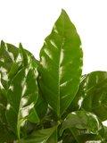 Koffie plant (PNLCOF12)_
