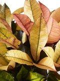 Croton Iceton (Croton Iceton)_