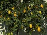 Limequat maat L 150 cm