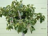 Vijgenboom - 225cm, stamomvang 30-35 cm met zoete donkere vijg