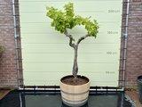 Druivenboom - Druif op oude stam 200cm
