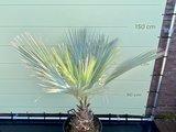 Mexicaanse blauwe palm - Brahea Armata 150 cm