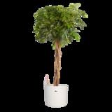 Vingersboom in ® ELHO b.for soft sierpot (Schefflera Gold Capella)_