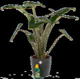 Alocasia Zebrina met Elho sierpot en Pokon (Alocasia Zebrina)_