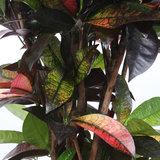 Croton 'Mrs Iceton' (Codiaeum variegatum)_