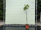 Vijgenboom - Ficus Carica 175cm, zoete donkere vijg