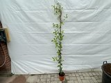 Toscaanse Jasmijn 130 - 150 cm