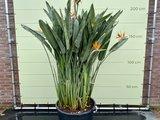 Strelitzia Reginae 200 - 250cm