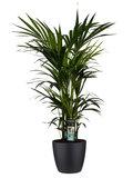 Decorum Kentia Palm - Elho brussels black ()_