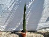 Italiaanse cipres totem 150-175cm