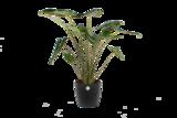 Alocasia Zebrina met Elho sierpot (Alocasia Zebrina)_