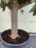 Sinaasappelboom maat XXL 180 cm