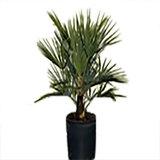 trachycarpus fortunei 10 - 20cm